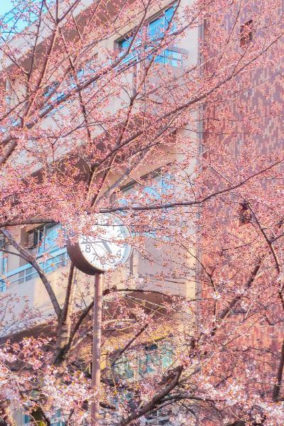 fast verblühte Kirschbäume vor Uhr in Tokio
