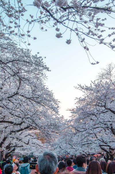 Menschen unter den Kirschblüten im Ueno Park in Tokio