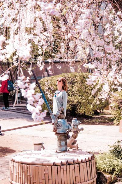 Großer Kirschblütenbaum hängt über einer Frau