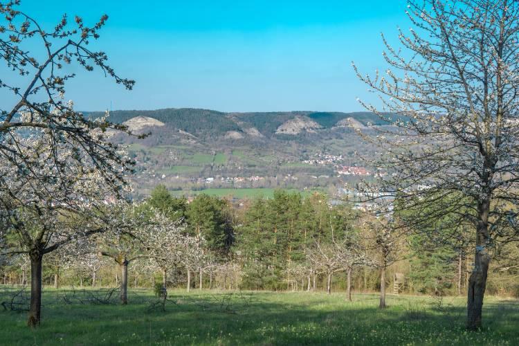 Die blühenden Kirschbäume in Winzerla