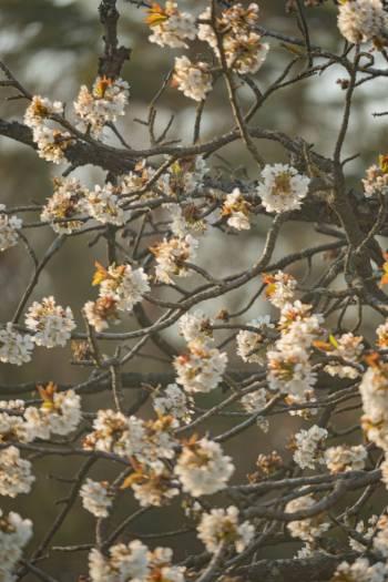 zarte weiße Kirschblüten