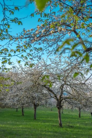 Die blühenden Kirschbäume in Winzerla, Jena