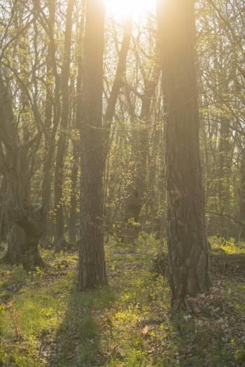 goldene Sonnenstrahlen im Wald bei Winzerla
