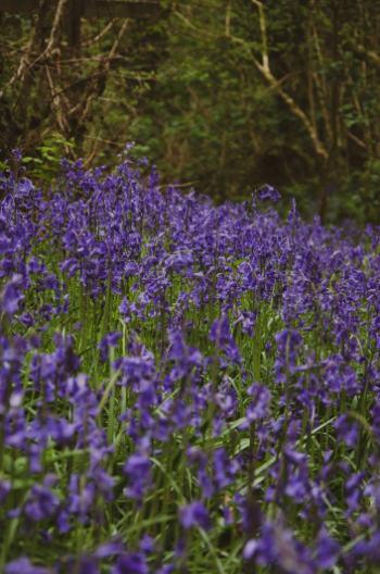 Glockenblumen in Devon, England