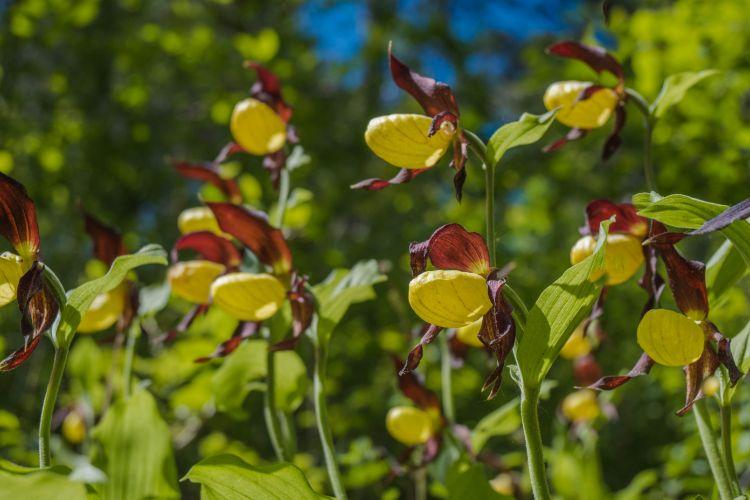 Ansammlung von Frauenschuh-Orchideen