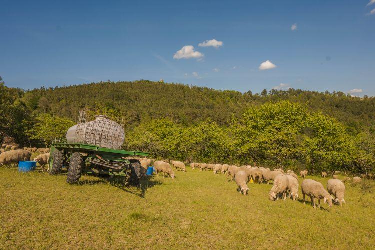 Wiese grüne mit Schafen in Kochberg