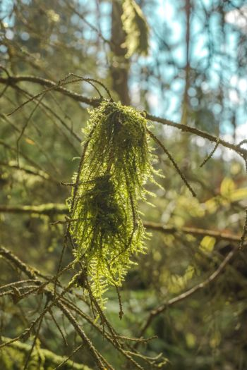 Moss auf Nadelbaumast im Gegenlicht