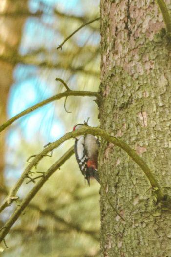Buntspecht an Nadelbaum