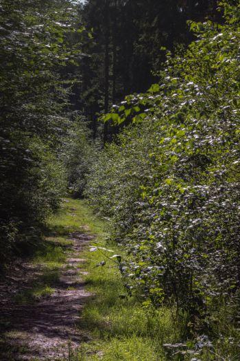 Waldpfad im Sommer