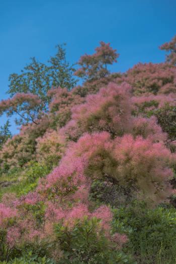rosa Perückensträucher von unten fotografier