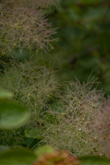 Nahaufnahme Blüten der Perückensträucher