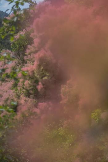 Nahaufnahme rosa Perückensträucher im Sommer