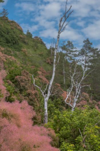 weiße Birken umringt von rosa Perückensträuchern