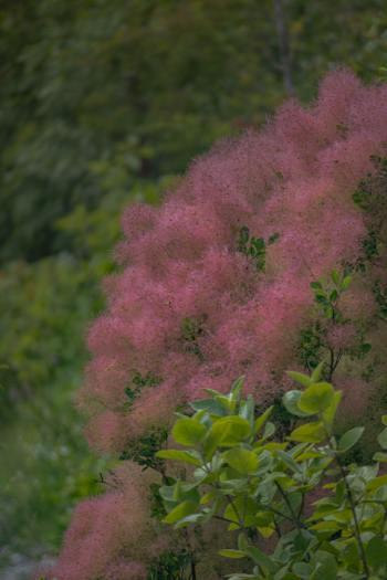 rosa Perückensträucher im Sommer