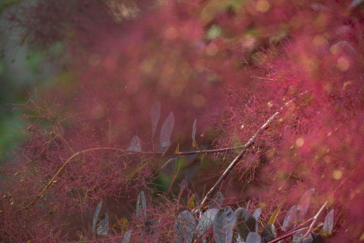 rot blühende Perückensträucher