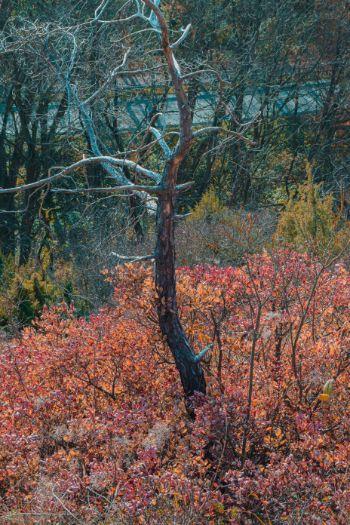 Herbstliche Perückensträucher in Jena