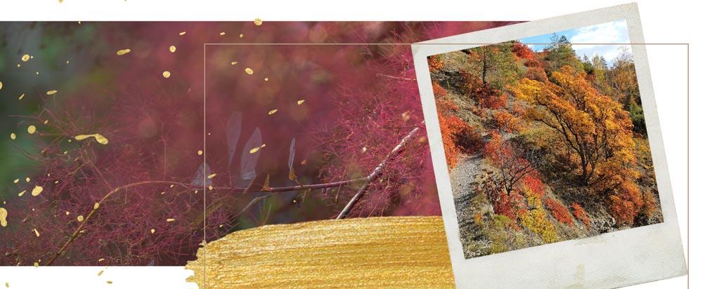 fotos von den Jenaer Perückensträuchern im Herbst und Sommer